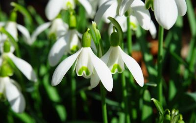 Snowdrops and Winter Interest Plants